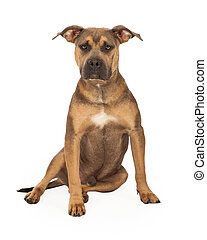 Staffordshire Bull Terrier Mix Breed Dog Sitting - An...
