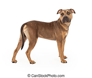 Staffordshire Bull Terrier Mix Breed Dog Standing - A...