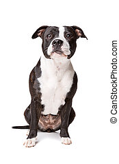 Staffordshire-bulterriër in front of a white background