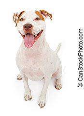 staffordshire, terrier, amerikaan, dog