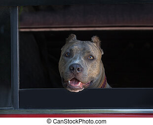 Staffordshire Terrier in the car window.