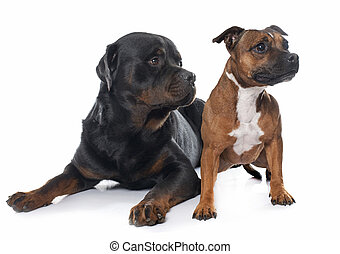 Female Rottweiler Stock Photos And Images Female Rottweiler - Terrier and rottweiler