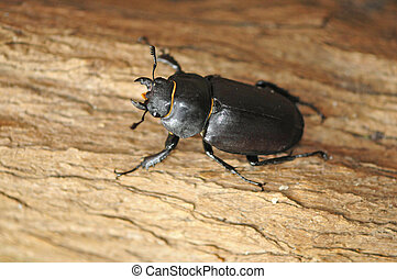 stag beetle comes out in spring sunshine