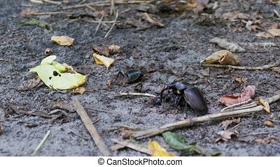 Stag Beetle Deer Pushes a Crushed Dead Beetle along the...