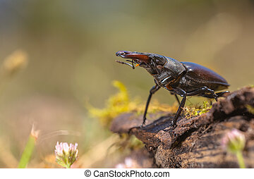 Stag Beetle (Lucanus cervus) Walking on a Log on the Forest...