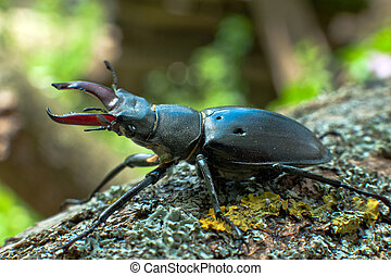 Stag beetle on the wood