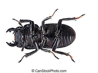 Stag beetle underside  - Insect macro