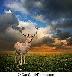 Stag Deer - Male Stag Deer on a Meadow