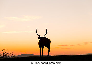 Stag deer with sunset