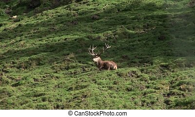 Stag in Forest - video footage of doe in the austrian alps