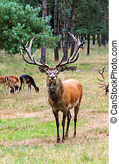 Stag looking - Beautiful deer (Cervus elaphus) in national...