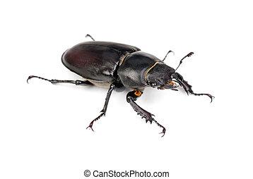(stag, lucanus, weibliche , cervus, beetle)