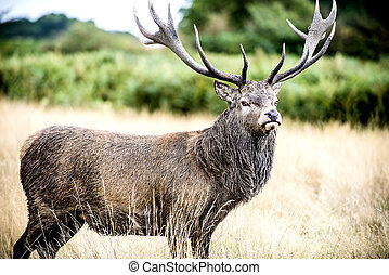 Stag or Hart, the male red deer - The Cervus Elaphus, known...