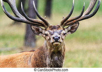 Stag portrait - Beautiful deer (Cervus elaphus) in national...