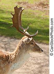 stag portrait