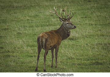 Stag red deer in field in Scotland