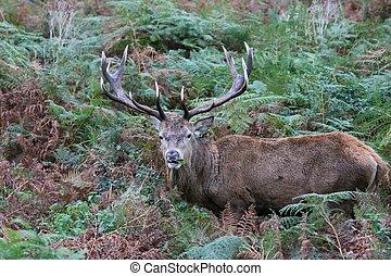 Stag red deer wild England- Cervus elaphus