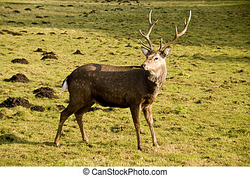 stag with antlers on a meadow