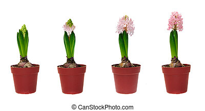 Stages of development of a hyacinth against white background