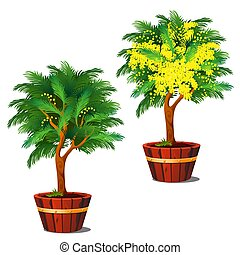 Stages of growth and flowering potted shrub mimosa isolated on a white background. Vector cartoon close-up illustration.