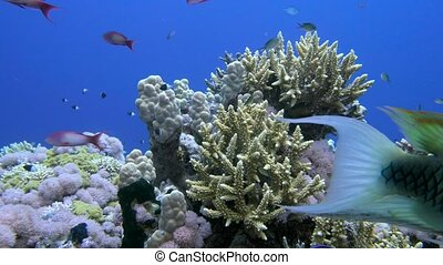 Staghorn coral, Acropora pulchra, with tropical fish underwater in the Red sea