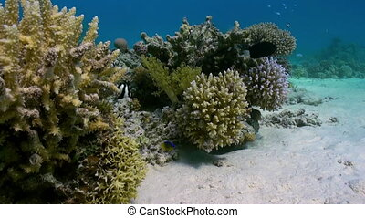 Staghorn corals on sandy bottom on reef on Red Sea