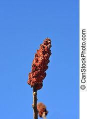 staghorn, sumac