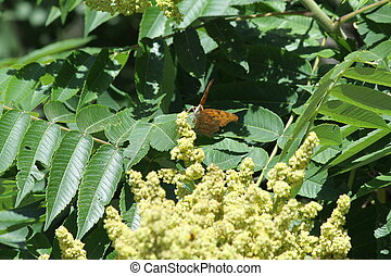 Male staghorn sumac flower at early stage of blooming. is a deciduous shrub to small tree