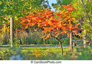 Staghorn Sumac tree in autumn time