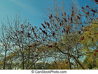 staghorn sumac tree with big red flowers in garden at autumn time...