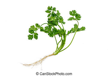 Stalk of coriander - Stalk of fresh green coriander with...