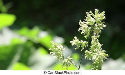 Stalk of grass on dark green background on light wind in...