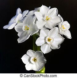 An isolated bunch of pretty delicate paperwhite flowers.