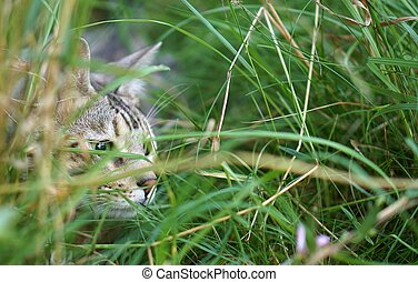 Stalking Cat In Long Grass