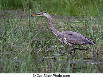Stalking Great Blue Heron