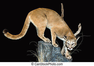 Stalking Mountain Lion - Stalking Mountain Lion on a black...