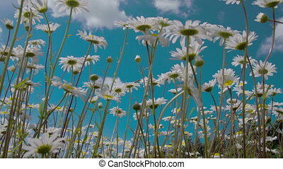 Stalks and flowers of the daises are waving with the wind...