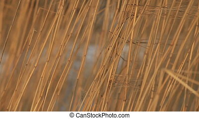 stalks of dry reeds rustle in the wind