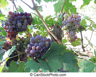 Stalks of grapes under the sun
