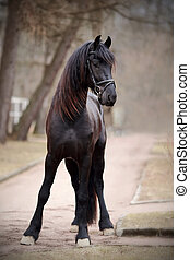 stallion., schwarz