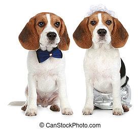 stallknecht, und, braut, (beagle, dogs)