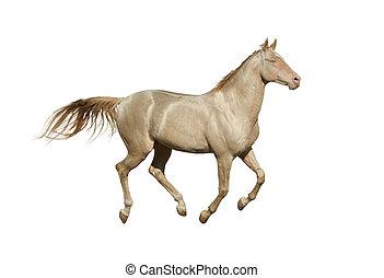 stallone, cremello, galloping