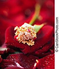 stamen, バラ, 花粉, 花弁
