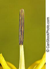 Stamen of yellow iris