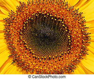 The central section of a sunflower in full bloom, showing the stamens and pollen heads in a spiral formation.