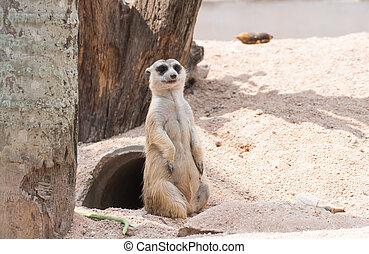 Stand Meerkat - Upstanding Meerkat childlike in the zoo of...