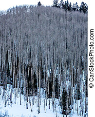 Stand of Aspens in Wiinter