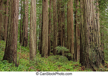 Stand of coast redwood trees