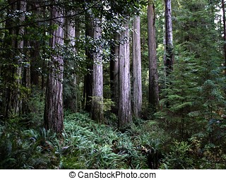 Stand of redwood trees - Majestic grove of redwood trees...