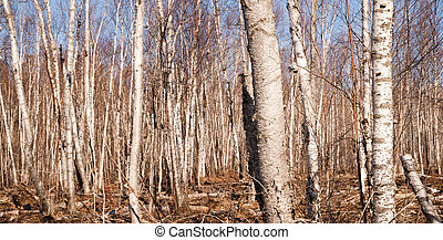 Stand of trees in winter